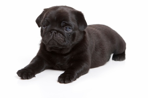 Black pug on white background