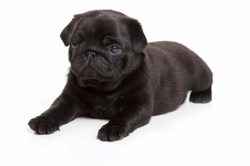 Black pug on white background